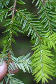 canadian native plants 103 best tsuga images on pinterest shrubs canadian hemlock and