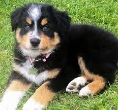 h cross australian shepherds top 25 best puppy mix ideas on pinterest australian shepherd