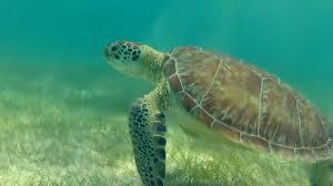 imagenes tortugas verdes rescate de tortuga marina en cancun maya la tortuga verde de