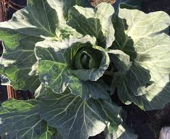 fun growing cabbage in a winter garden in southern california