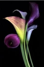 Purple Lily Flower Petit Cabinet De Curiosites Kwiaty Pinterest Flowers