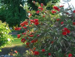 Patio Tree Roses by Scarlet Torch Bottlebrush Monrovia Scarlet Torch Bottlebrush