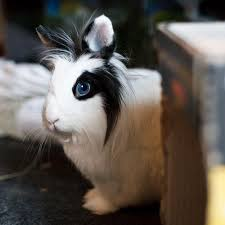 lion heads for sale 14 best lionhead rabbits images on lionhead rabbit
