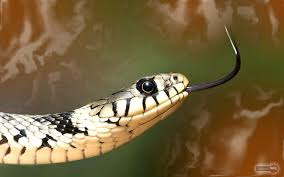 snake wallpapers u2013 animal spot
