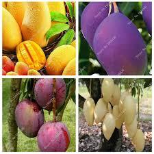 Mango Boom 2 stks zak mango zaden mini mango boom zaden bonsai boom zaad