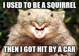 Wombat Memes - happy wombat memes imgflip