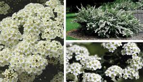 Flowering Shrubs That Like Full Sun - jim whiting nursery and garden center in rochester mn