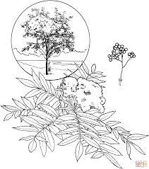 american mountain ash coloring page free printable coloring pages