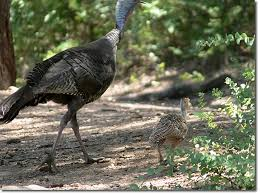 Backyard Turkeys Backyard Bird Cam Wild Turkey Juvenile