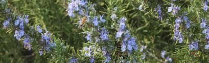 rosmarinus rosemary plant delights nursery