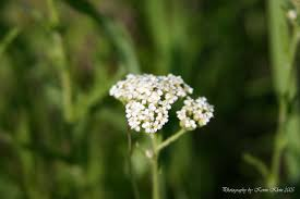 illinois native plants white yarrow