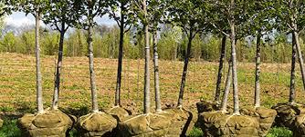 tree delivery ikthus tree farms llc atlanta ga 7704632912