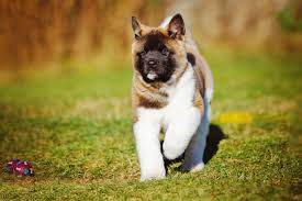 Dogs For The Blind Jobs Akita Dog Breed Information Pictures Characteristics U0026 Facts