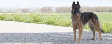 belgian shepherd houston belgian tervuren dog breed health history appearance