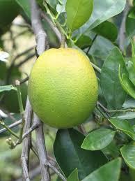 Backyard Fruit Trees Citrus Greening Remains A Problem In Backyard Citrus Trees Uf