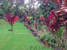 ti plant ti plant branching tropiscape palmpedia