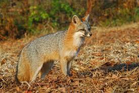 how to deal with problem fox in pennsylvania wildlifehelp org