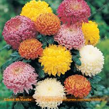 Flower Seeds Online - compare prices on mums seeds online shopping buy low price mums