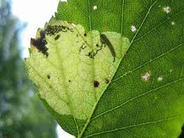 insects on birch leaf miners