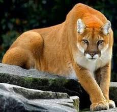 mountain lion cougar beauty earth