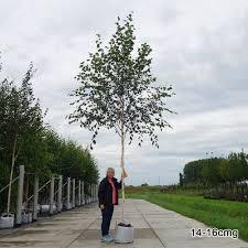 betula utilis jacquemontii snow himalayan birch trees