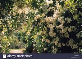 david austin roses shropshire rose pergola climbing roses rosa