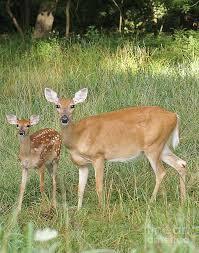 deer family photograph by rex e ater