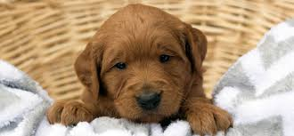 Comfort Retriever Puppies For Sale Goldendoodle And Bernedoodle Puppies In Illinois By Island Grove