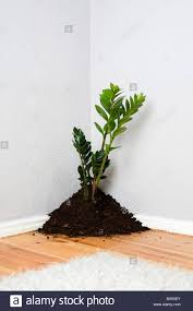 Corner Of A Room A Plant Growing Out Of A Pile Of Dirt In The Corner Of A Living