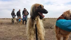afghan hound national 2014 humbabarauma of synergon cc cm u2013 synergon afghan hounds