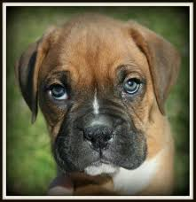 boxer dog t shirts uk boxer pup with green eyes crazy boxers pinterest boxer pup