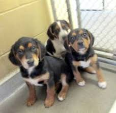 bluetick coonhound rescue nc adopt susie q on plott hound bedford and in