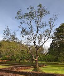 majestic tree picture of sigiriya world heritage site sigiriya