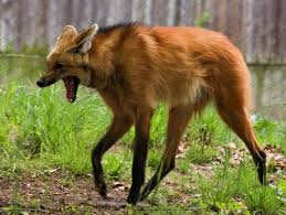 the verge review of animals the maned wolf the verge