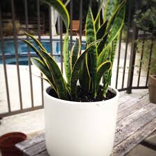 case study pots and snake plants hither u0026 thither