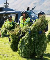 Recovering Cannabis Plants From High by Police Recover 9000 Cannabis Plants In Nelson Marlborough Aerial