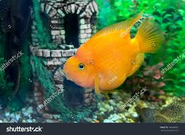 red parrot fish stock photo 168980081 shutterstock