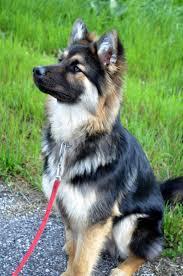 australian shepherd x husky german sheperd husky mix siberian husky pinterest husky mix