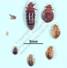 Bed Bugs In Mattress Mattress Cleaning A 1 Carpet Service Sioux Falls 605 359 1098