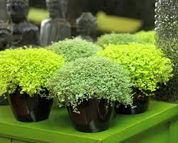 irish native plants mind your own business u2022 soleirolia soleirolii u2022 paddy u0027s wig