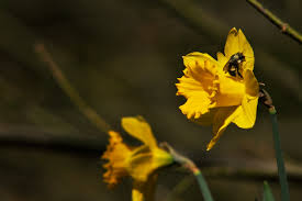 Flowers Bees Pollinate - do bees pollinate daffodils u2013 longbranch chronicles