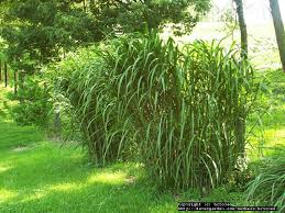 size picture of silver grass miscanthus