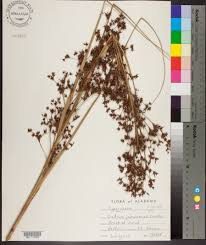Sawgrass Map Cladium Jamaicense Species Page Apa Alabama Plant Atlas