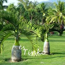 2017 palm tree seeds garden ornament evergreen trachycarpus