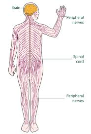 human nervous system structure and functions explained with