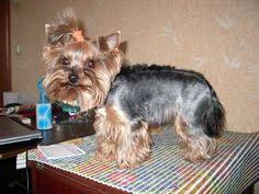 types of yorkie haircuts i could maybe use entire cut really love style of the tail very