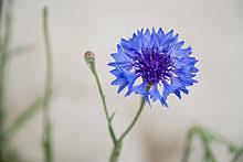 cornflower blue centaurea cyanus