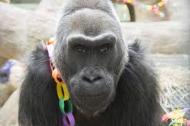 thousands mourn the death of colo the world u0027s oldest zoo gorilla