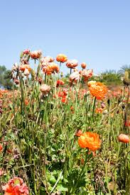carlsbad flower garden carlsbad flower fields and mission san juan capistrano salty canary