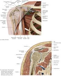 Axial Shoulder Anatomy Shoulder U0026 Arm Atlas Of Anatomy
